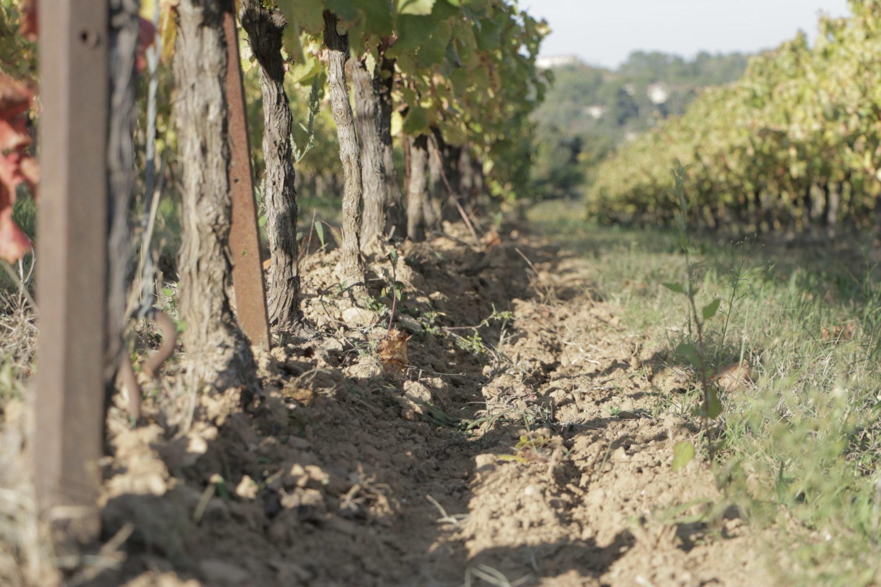 Trace dans la vigne
